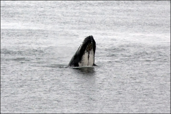 Whale Watching - 2009