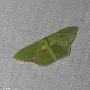 Papillons du Panama; Geometridae
