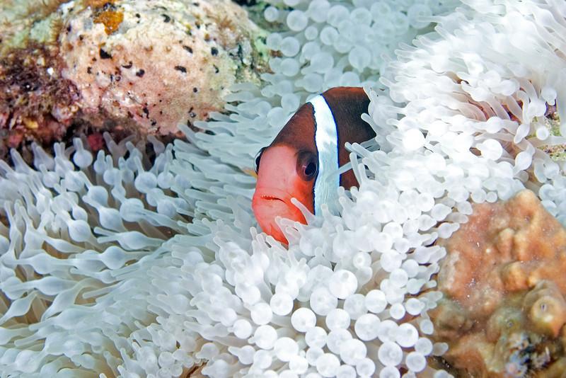 Anenome Fish 3.jpg