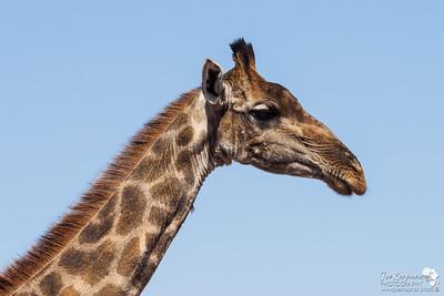 Southern Giraffe Profile