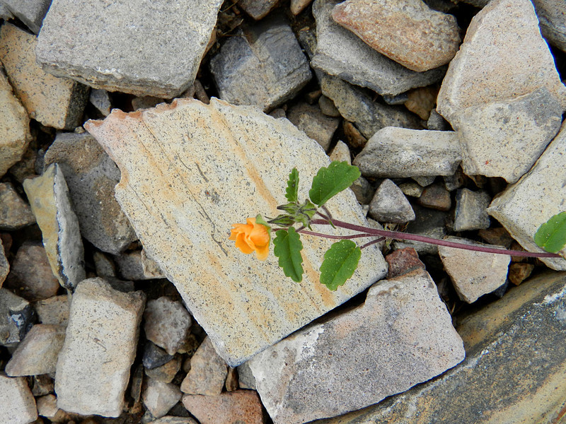 terlingua ranch 210 rock with orange flower.jpg