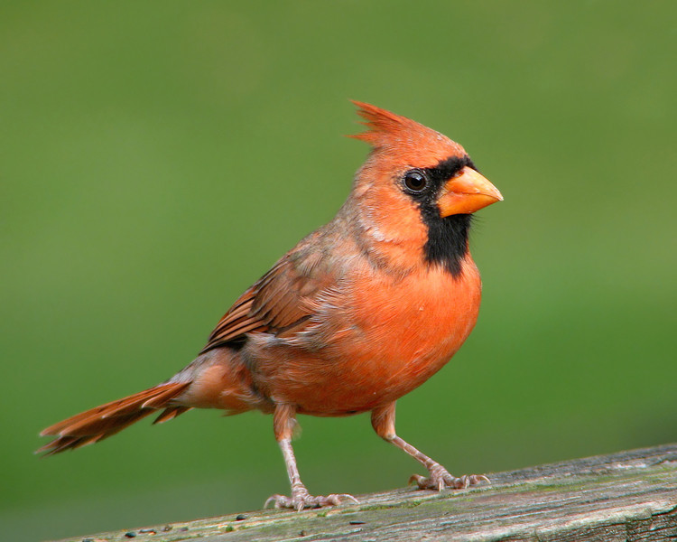 cardinal_0771.jpg