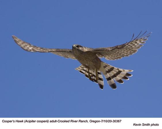 Cooper's Hawk A30367.jpg