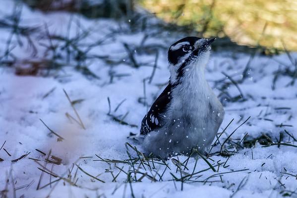 12-22-15 Downy Woodpecker