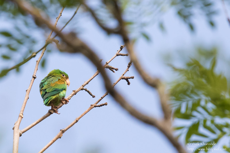 Orange-chinned Parakeet - Record - Gamboa Rainforest Resort, Gamboa, Panama