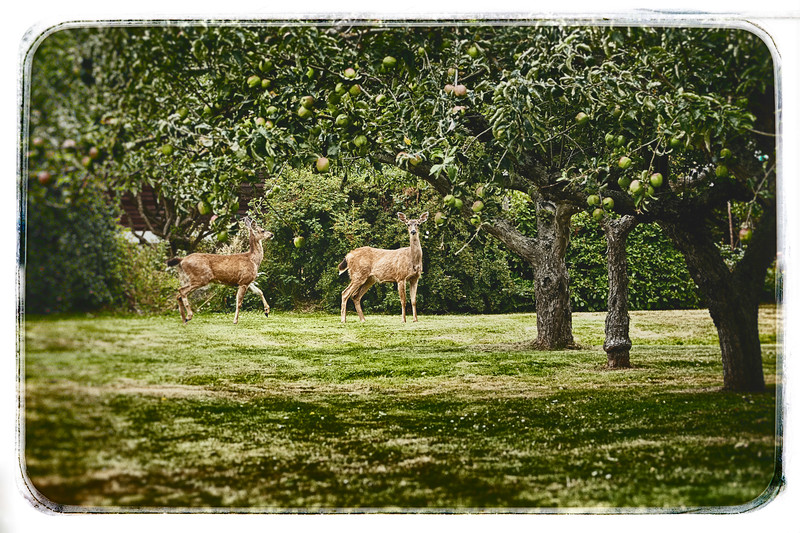 Black Tail Deer and Apples