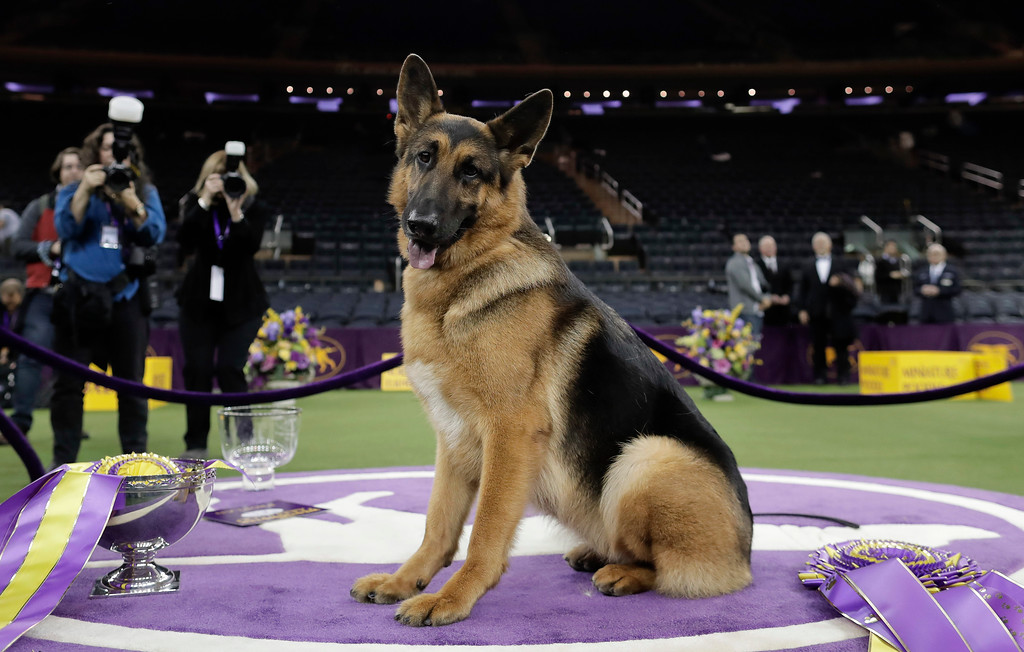 . Rumor, a German shepherd, poses for photos after winning Best in Show at the 141st Westminster Kennel Club Dog Show, early Wednesday, Feb. 15, 2017, in New York. (AP Photo/Julie Jacobson)