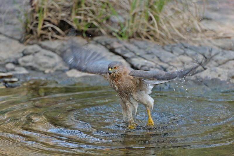 Shikra (Accipiter badius) bathing in a water pool in Ranthambhore