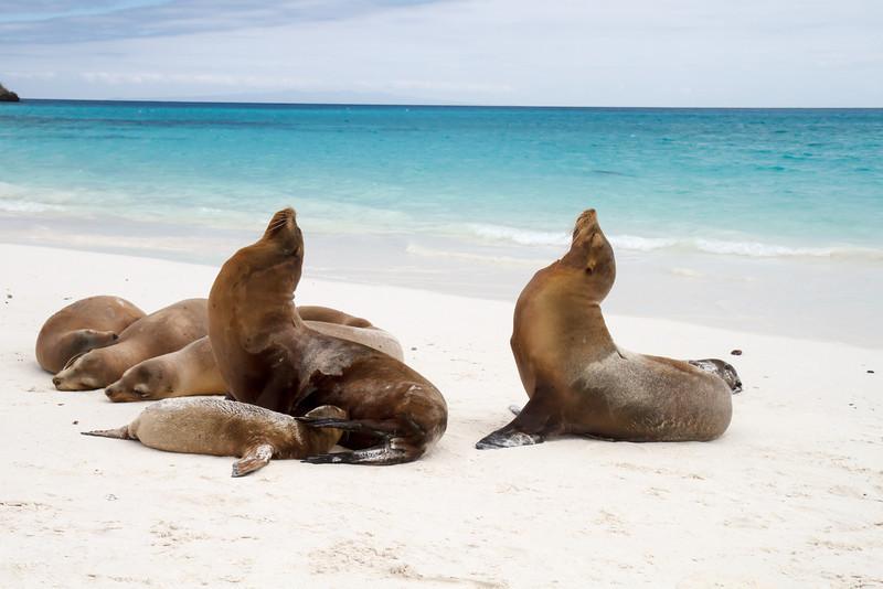 Galapagos Sea Lions at Gardner Bay, Espanola, Galapagos, Ecuador (11-21-2011) - 611.jpg