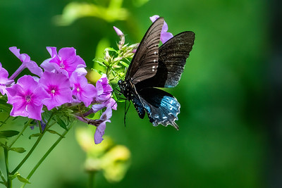 Swallowtail - Pipevine