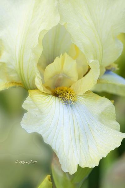 Bearded Iris Refreshing