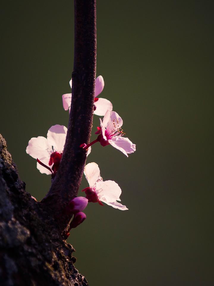 红叶李花,春光明媚