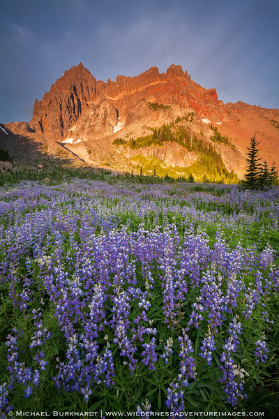 Canyon_Creek_Meadows_Lupine_180.jpg