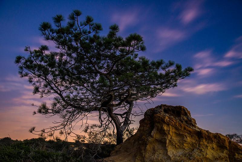 Torrey_Pines_Southern_California_Rare_Tree_DSC0339.jpg