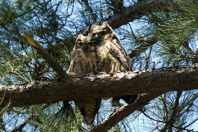 Owl  109