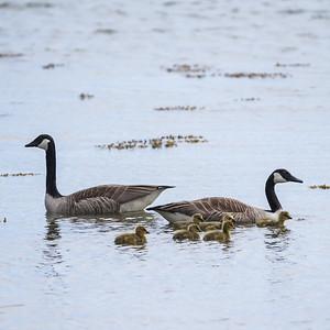 027-17 Branta canadensis, Kanadagås, Canada Goose
