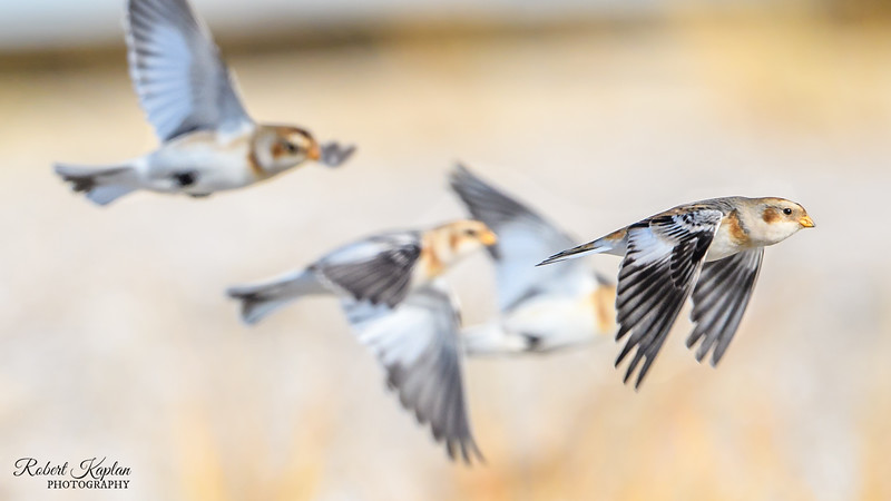 Snow Bunting Corner Crop Wallpaper-9669.jpg