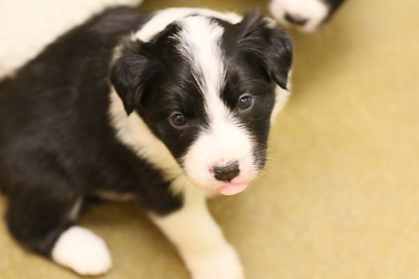 Pixie puppies 2017