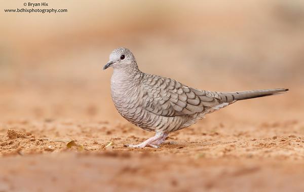 Doves | Pigeons