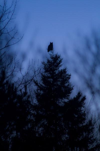 Great Horned Owl Duluth CBC Christmas Bird Count Duluth MN IMG_3795.jpg