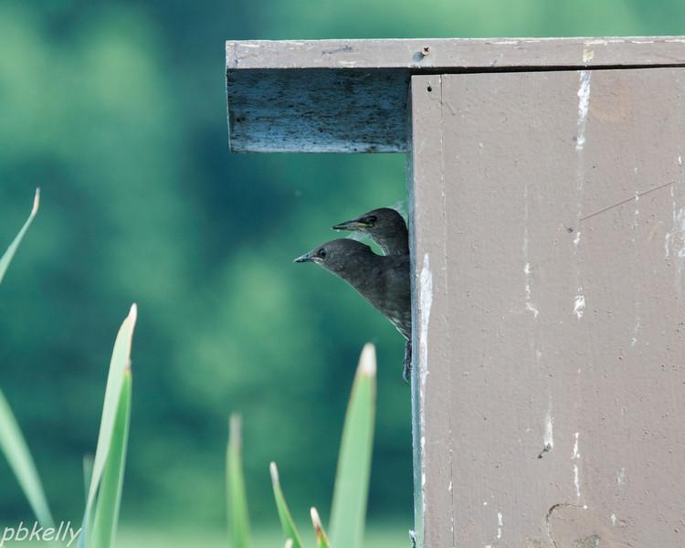 starlings 070713-1.jpg