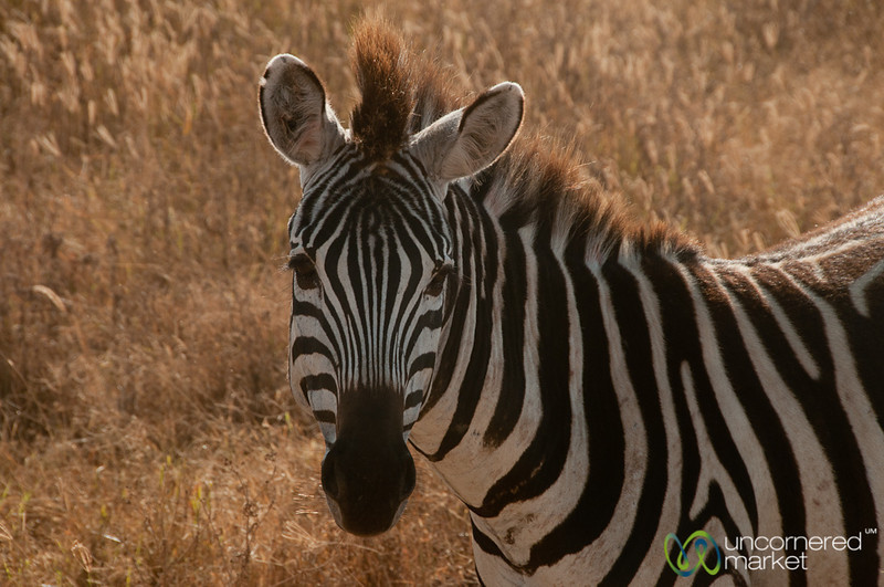 Zebra Face - Ngorongoro Crater, Tanzania