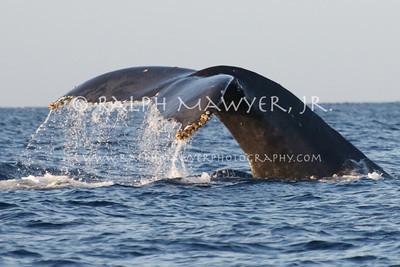 Whales - Humpbacks, Maui, 2011
