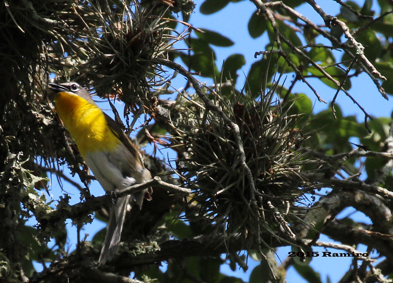 Commmon Yellowthroat 5-24-15 166.jpg