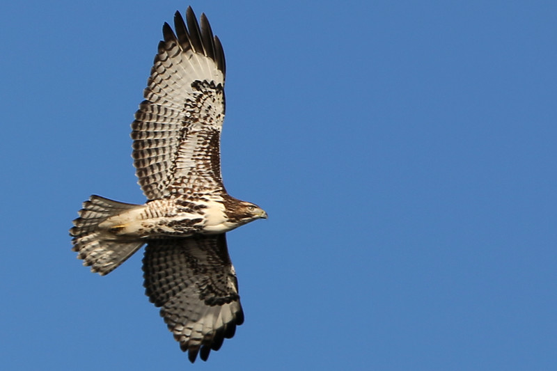 Red-Tailed Hawk 12.jpg