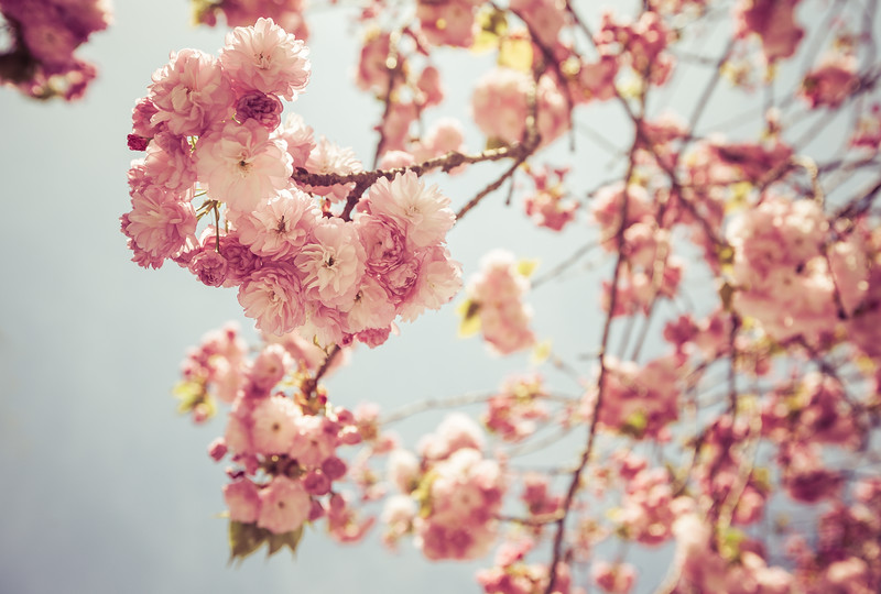 Sakura Blossoms in Ueno Park