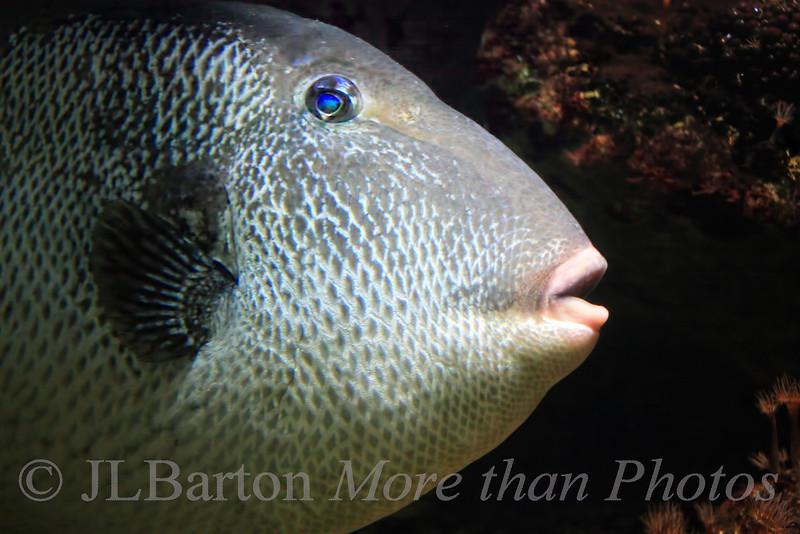 Drückerfisch - Triggerfish Balistes carolinensis As seen in the Vienna aquarium