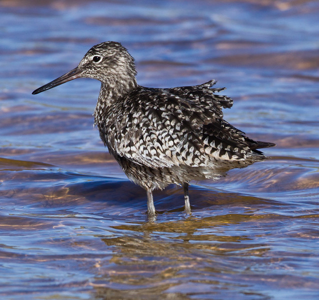 Willet  Crowley Lake 2013 05 20 (1 of 2).CR2