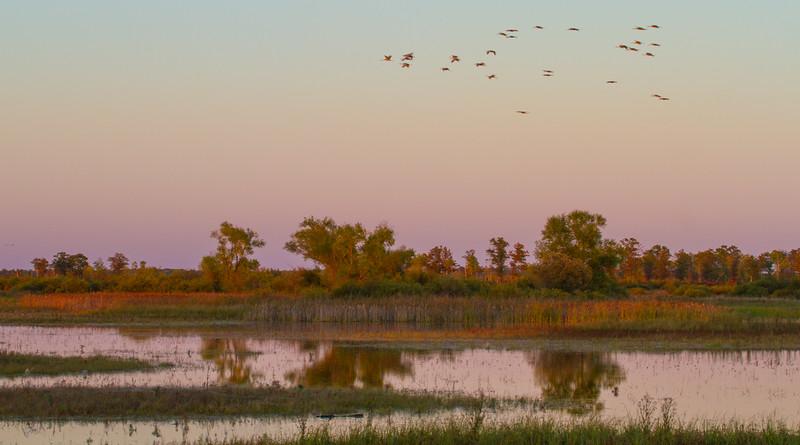 Sandhill Crane flock fly-in Crex Meadows Grantsburg WI IMG_0077.jpg