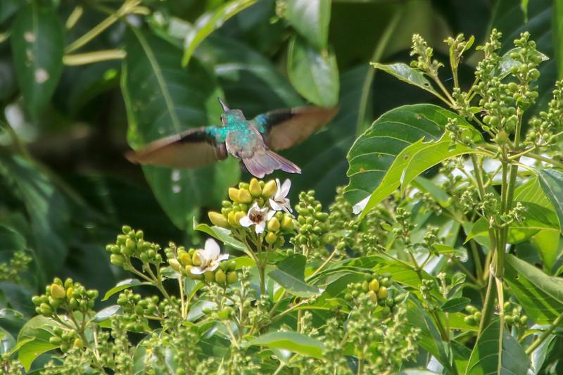Hummingbird Flying Away