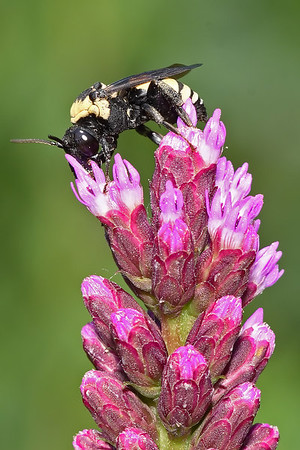 Bees, Wasps, Hornets, Etc. (Hymenoptera)