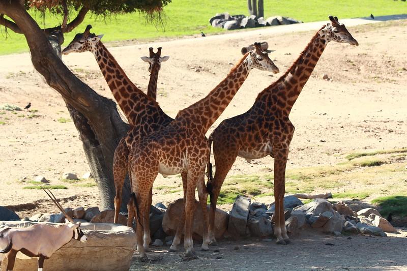 San Diego wild animal pakr 201700098.jpg