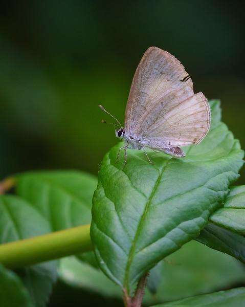 Azure Butterfly on Leaf