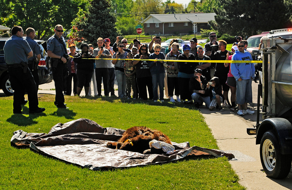 . A crowd gathered to see a bear that was tranquilized after wandering around a suburban Denver neighborhood on Monday April, 30, 2012. The 300-pound bear was found in the 8300 block of Shoshone Street in the southwest corner of Pecos Street and West 84th Avenue. RJ Sangosti, The Denver Post