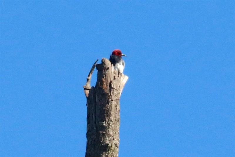 Red-headed Woodpecker @ Keeteman Road Sod Farm