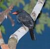 Black-Fronted Nunbird-579622886-O