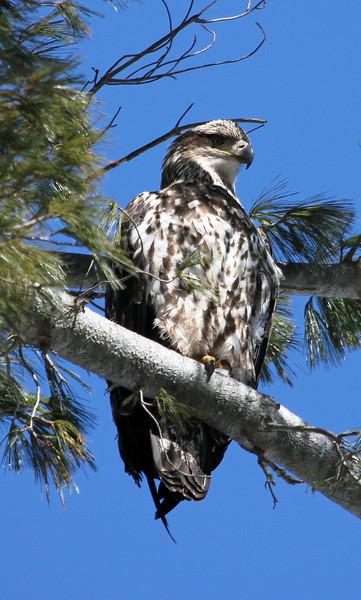 immature bald eagle tree.jpg