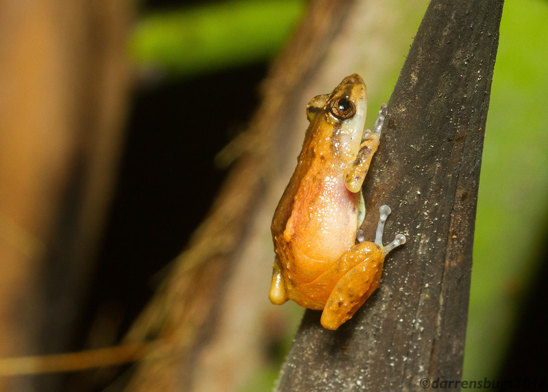 A tree frog, probably Pristimantis sp., found on a rainy night walk in Panama.
