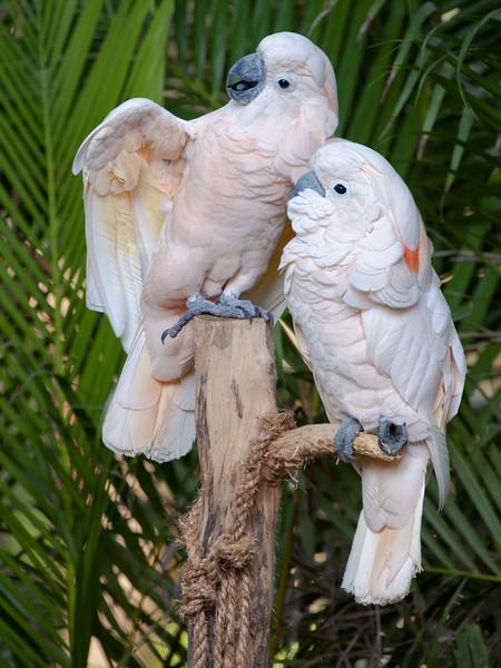 308-White Parrots.JPG