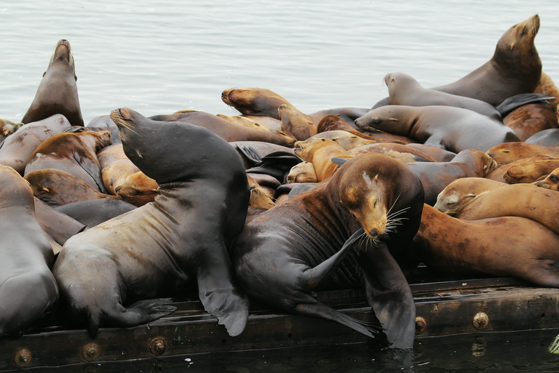 CALIFORNIA SEA LIONS - MOSS LANDING, CALIFORNIA