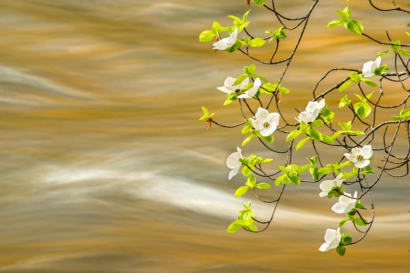 Dogwood Flowers & The Merced River - Yosemite