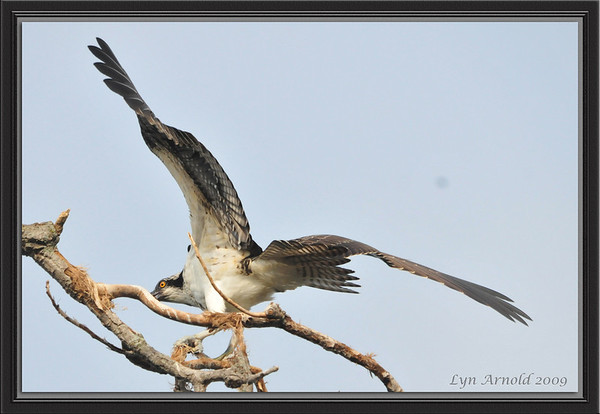 Osprey by Lyn Arnold