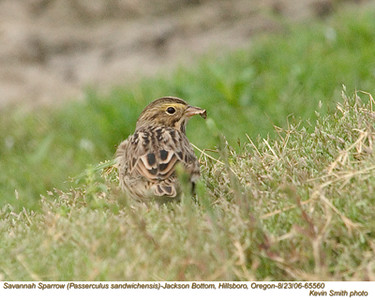 SavannahSparrow65560.jpg