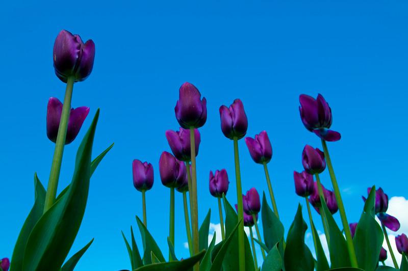 TulipFestival-67.jpg