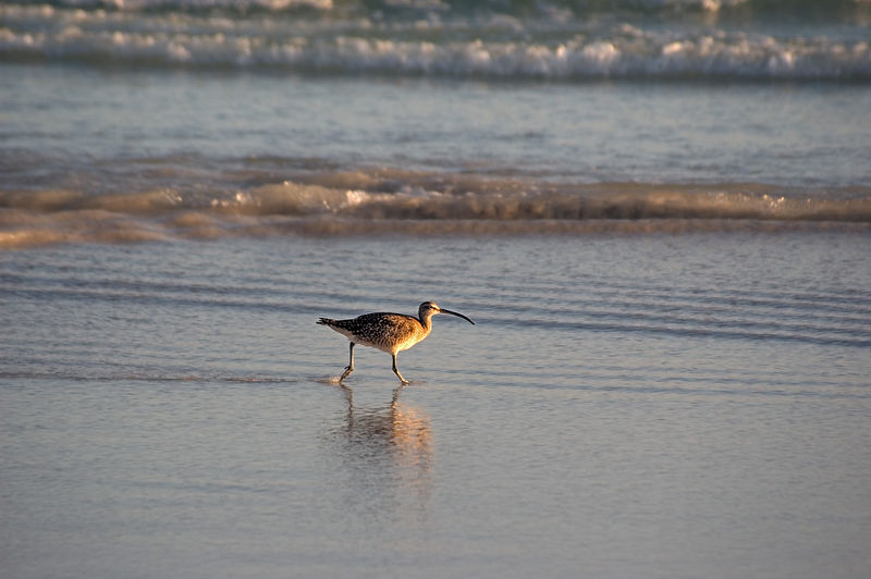 Whimbrel in shallow water