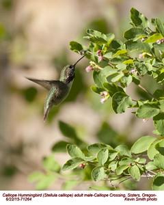 Calliope Hummingbird M71264.jpg
